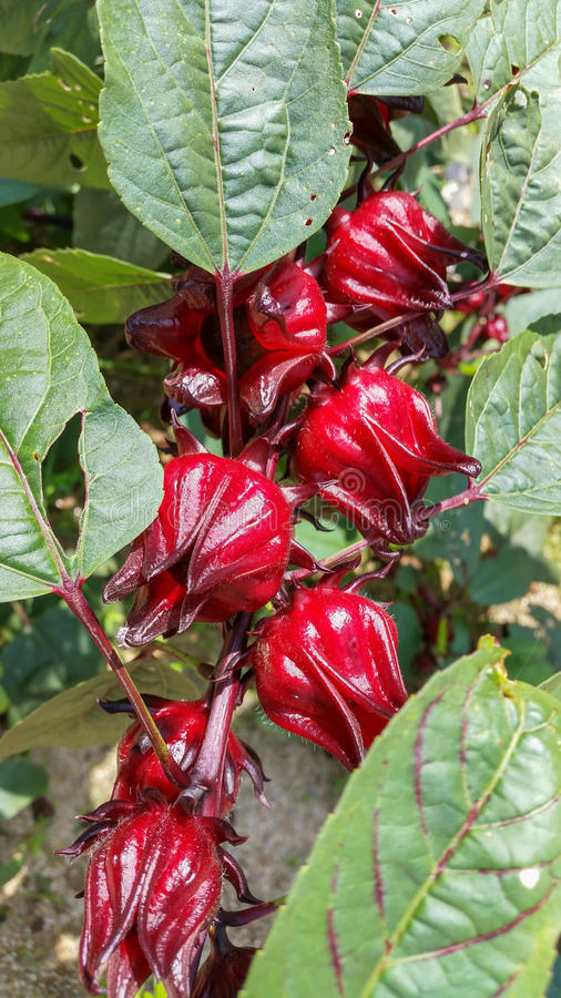 Roselle in tropical garden royalty free stock photography