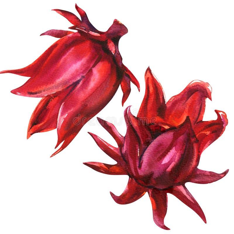 Roselle vermelho, sabdariffa do hibiscus, flor do fruto, planta, isolada, ilustração da aquarela no branco ilustração royalty free