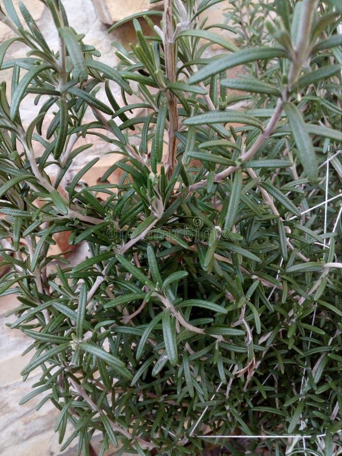 Rosemarine växt arkivfoto