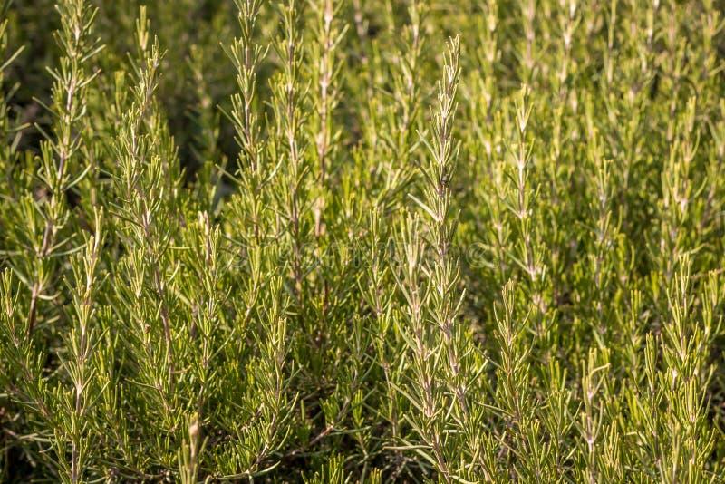 Rosemary στις άγρια περιοχές στοκ φωτογραφίες με δικαίωμα ελεύθερης χρήσης