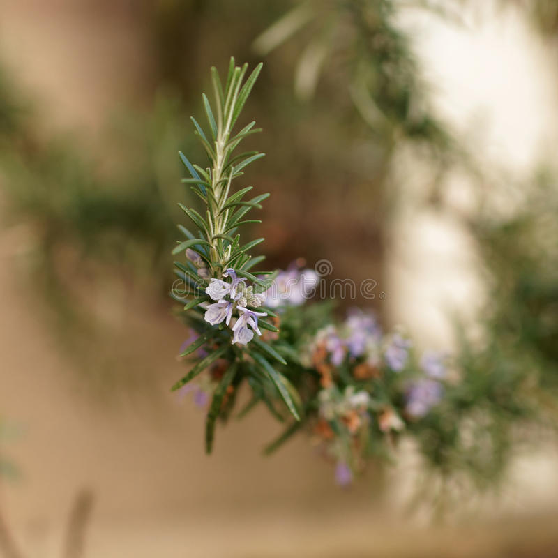 rosemary цветка стоковая фотография