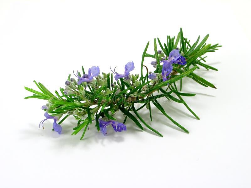 Rosemary stockfoto