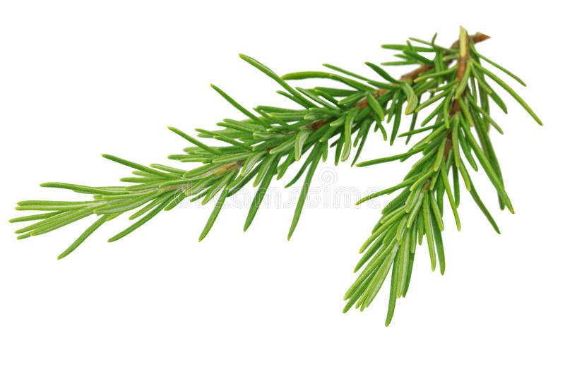 Download Rosemary stock photo. Image of background, tasty, spice - 16311696