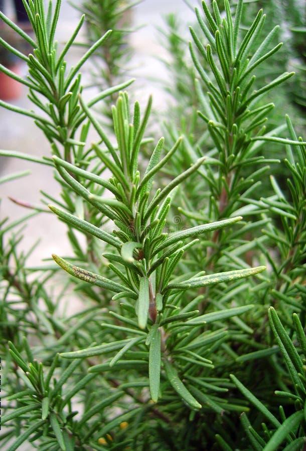 Free Rosemary Royalty Free Stock Photos - 3916448