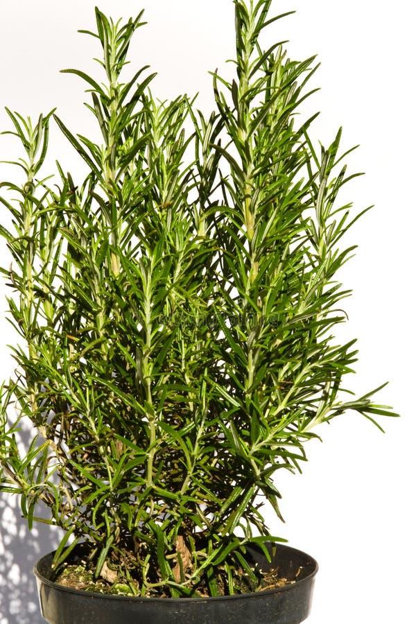 Rosemary royalty free stock photo