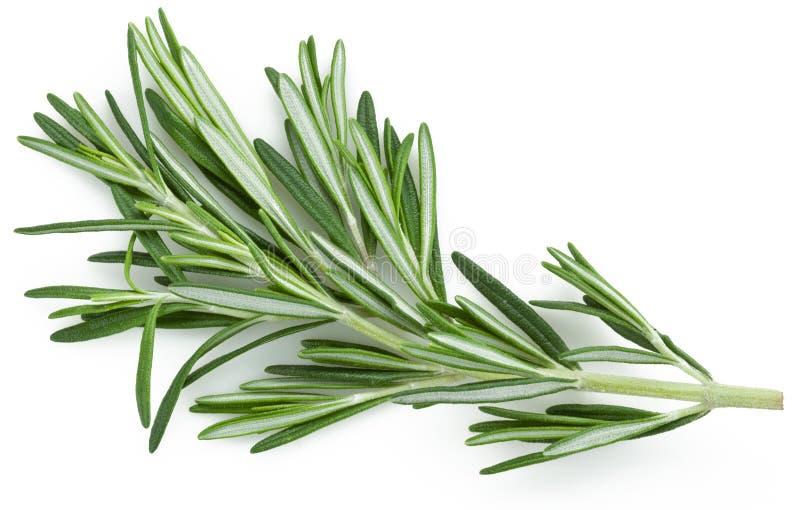 Rosemary immagine stock
