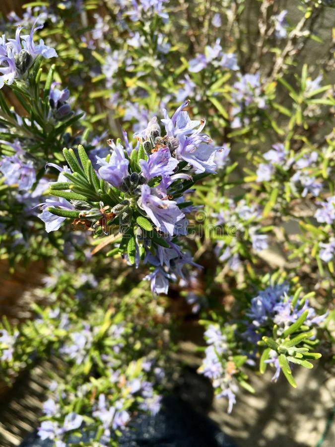 Rosemary in all its splendor stock images