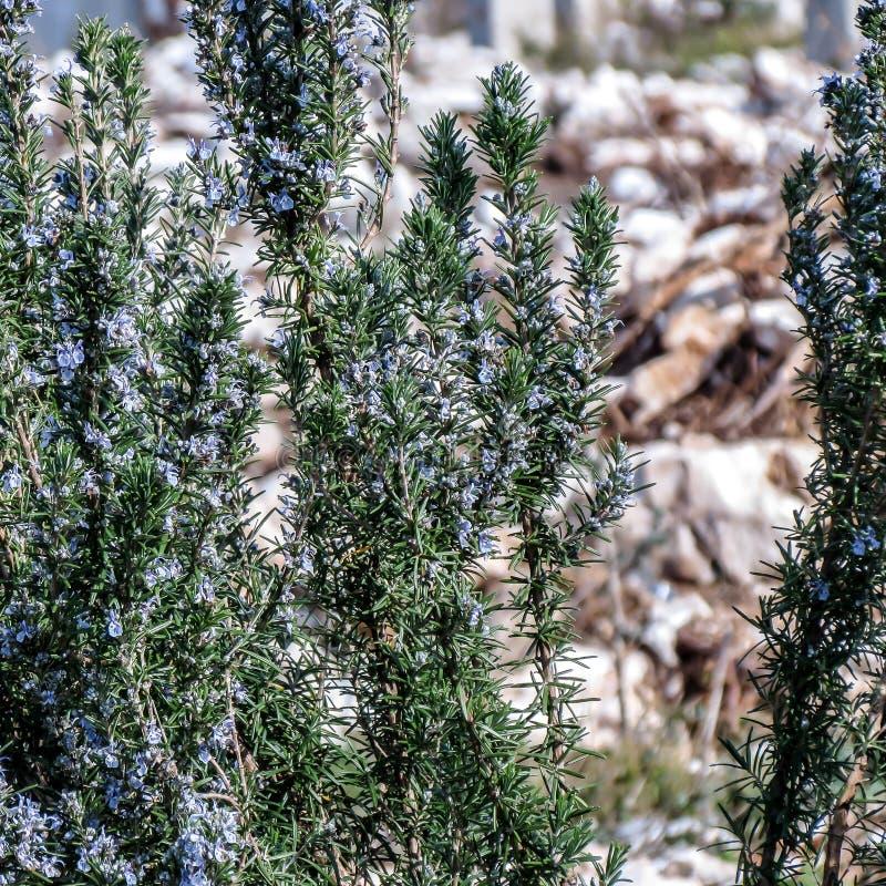 Rosemary als Gewürz- und Gartendekoration lizenzfreies stockbild