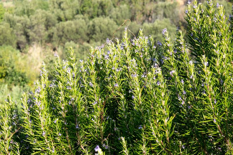 Mediterranean Rosemary aromatic perennial plant. stock image