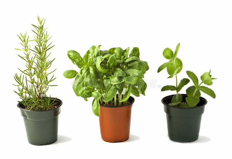 Download Rosemary, Basil and Mint stock image. Image of space - 15609657