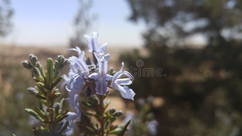 Rosemary-Blume stockfotos