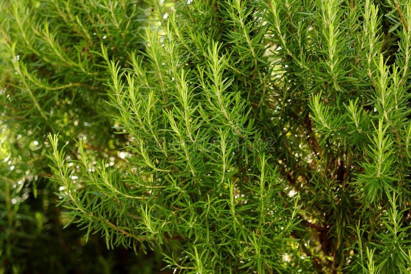 Rosemary buisson, île de Corfou, Grèce, l'Europe photo stock