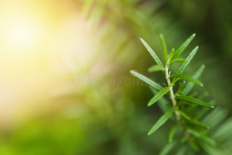 Rosemary closeup herbal royalty free stock images