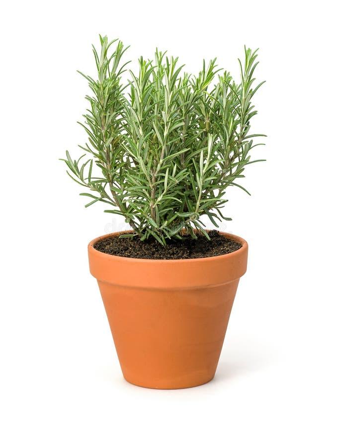Rosemary dans un pot d'argile images libres de droits