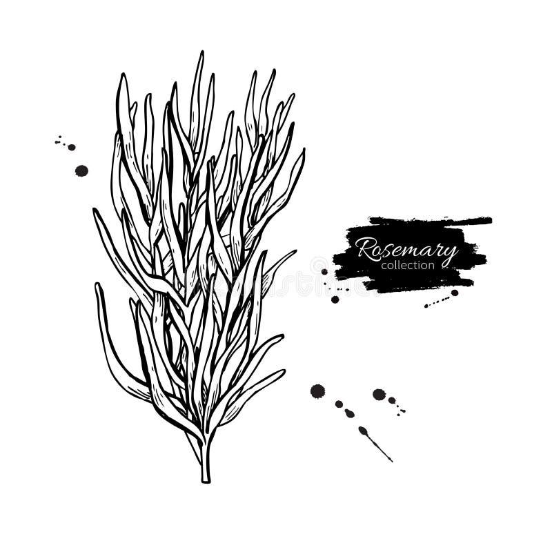 Rosemary drawing. Isolated Rosemary plant royalty free illustration