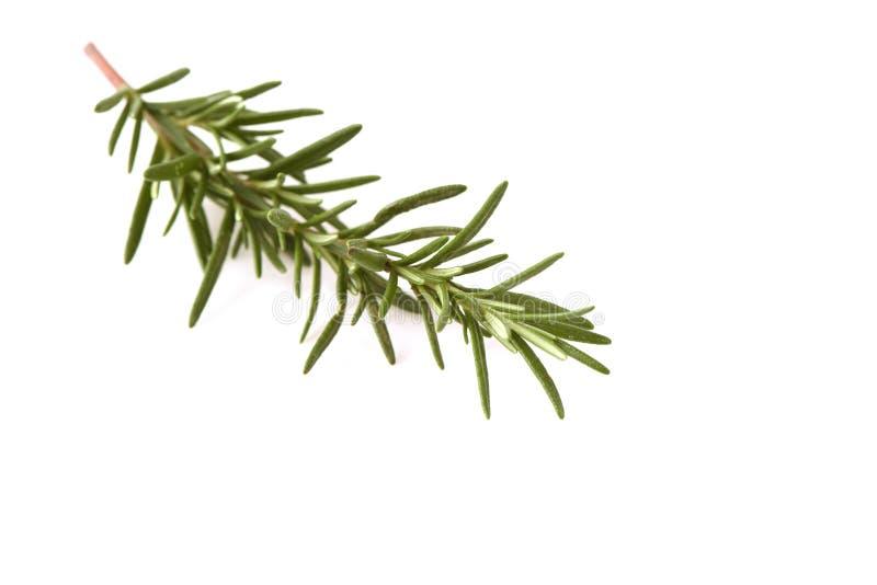 Rosemary en un fondo blanco foto de archivo