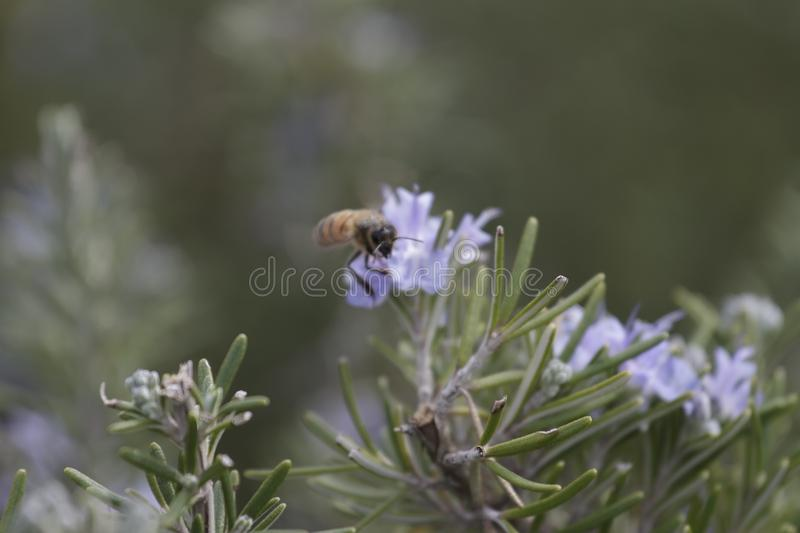 Rosemary flower bee. Bee collecting pollen on Rosemary flowers stock photo
