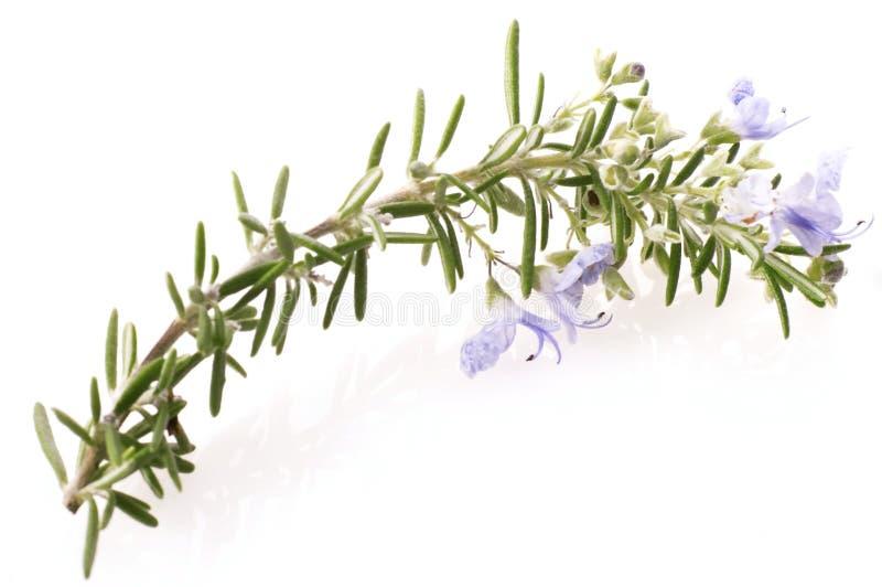 Rosemary fresco com flores foto de stock royalty free