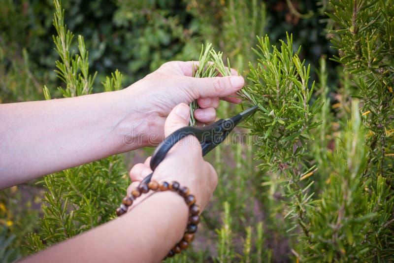 Rosemary Garden fraîche et organique photos stock