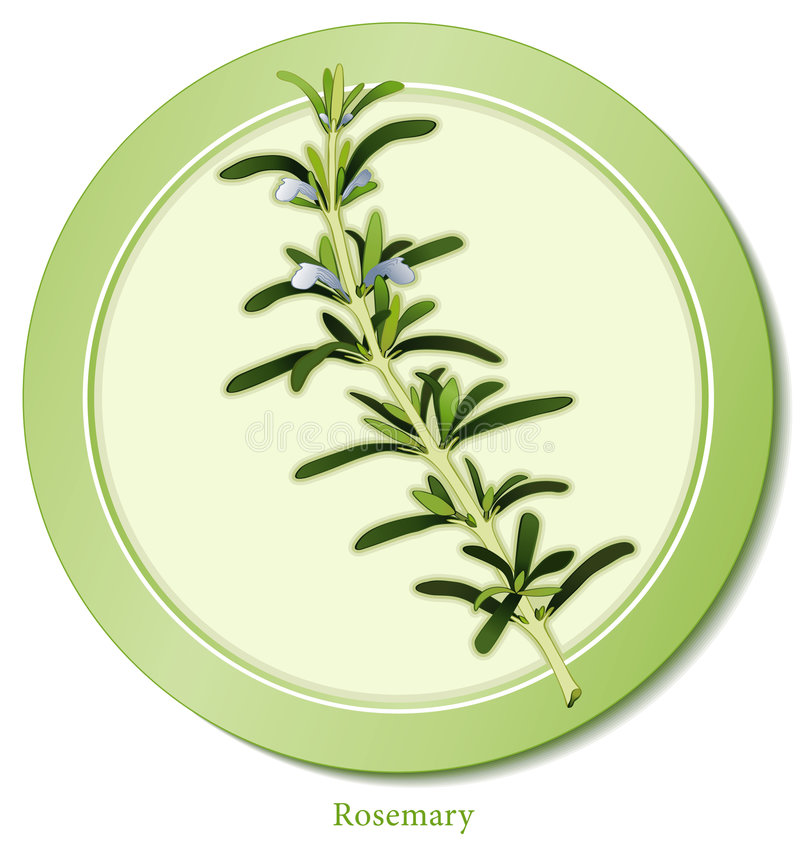 Rosemary Herb. Rosemary, a most fragrant, perennial herb with delicate blue flowers from the Mediterranean region. Dark green, narrow leaves used cooking vector illustration