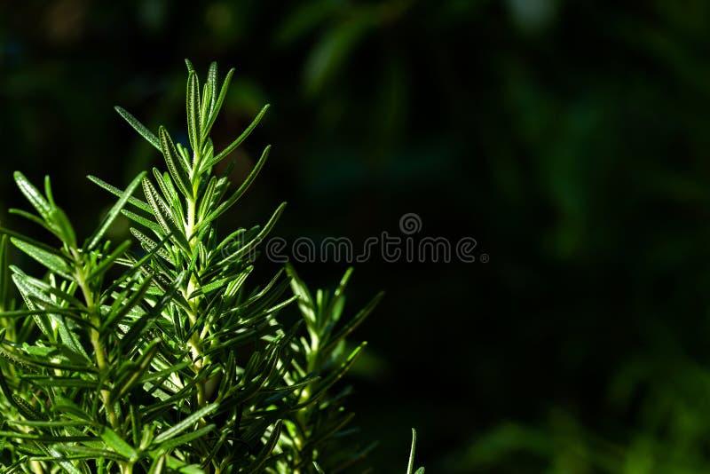 Rosemary Herb fresca si sviluppa all'aperto Il rosmarino lascia il primo piano fotografie stock