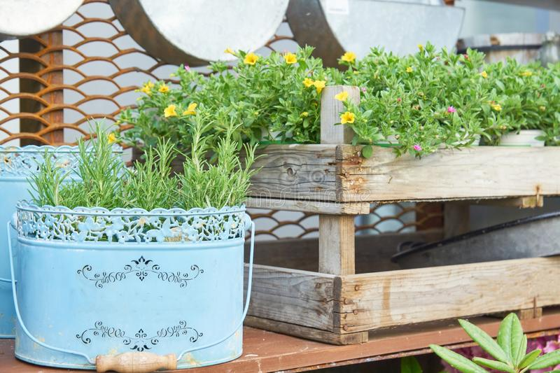 Rosemary herb growing in blue painted metal bucket in vintage style and wooden box as flowerbed. Garden decoration. Retro flower royalty free stock images