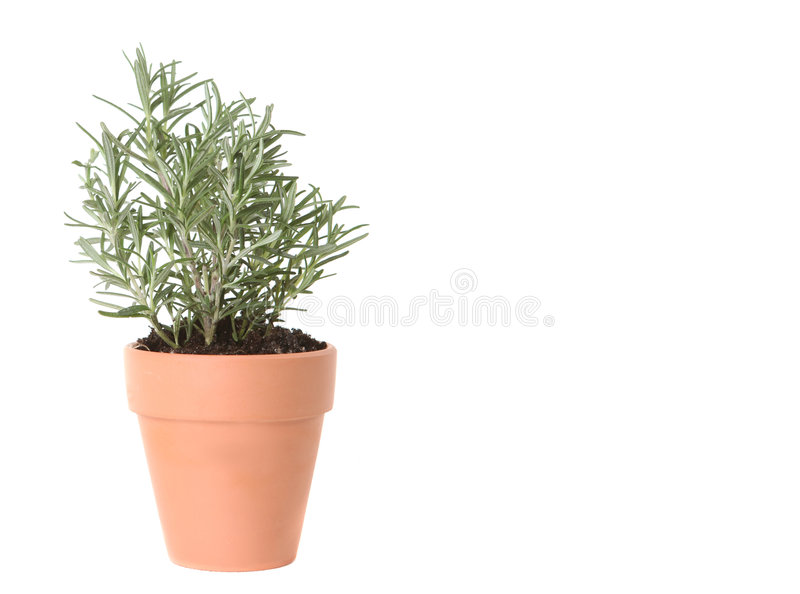 Rosemary Herb Planted in a Clay Pot stock photos
