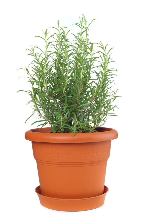 Rosemary installatie in plastic pot stock afbeeldingen