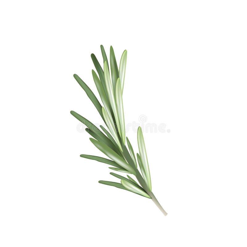 Rosemary kruidkruid Vectorillustratierozemarijn royalty-vrije illustratie
