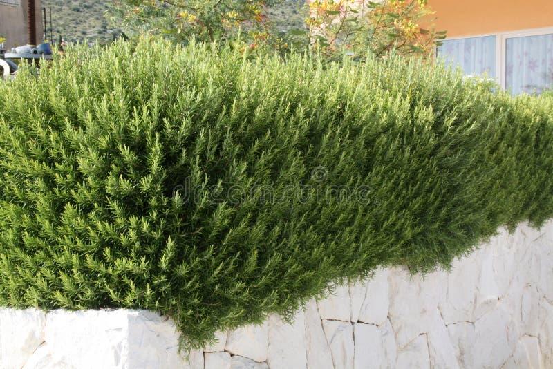 Rosemary in a Mediterranean garden royalty free stock photography