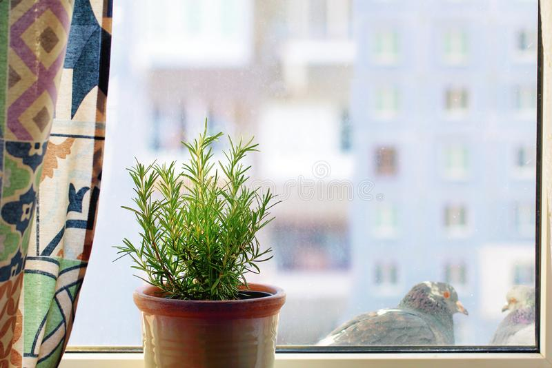 View from a home window. Rosemary officinalis in a clay pot on the windowsill in the interior of the living room. Window view into multi-storey residential