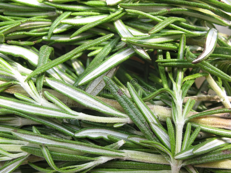 Rosemary (officinalis do Rosmarinus) imagem de stock
