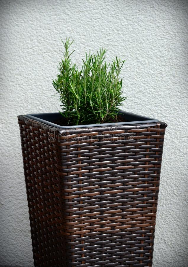 Rosemary. One picture of a rosemary bush royalty free stock photo