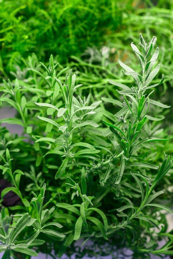 Rosemary organica fresca Erbe piccanti fotografie stock