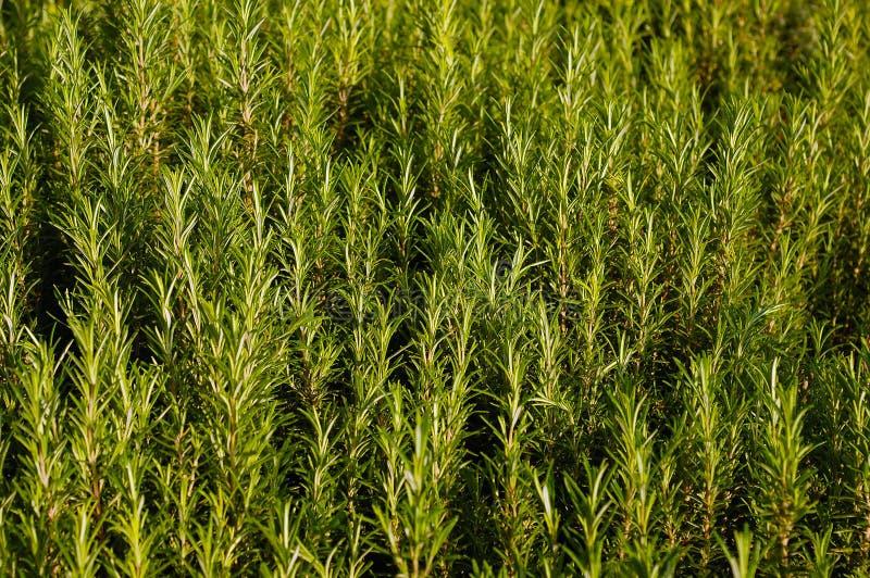 Rosemary plant stock photography