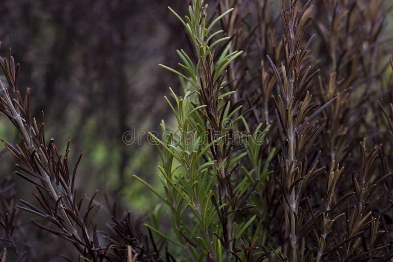 Rosemary Plant imagenes de archivo
