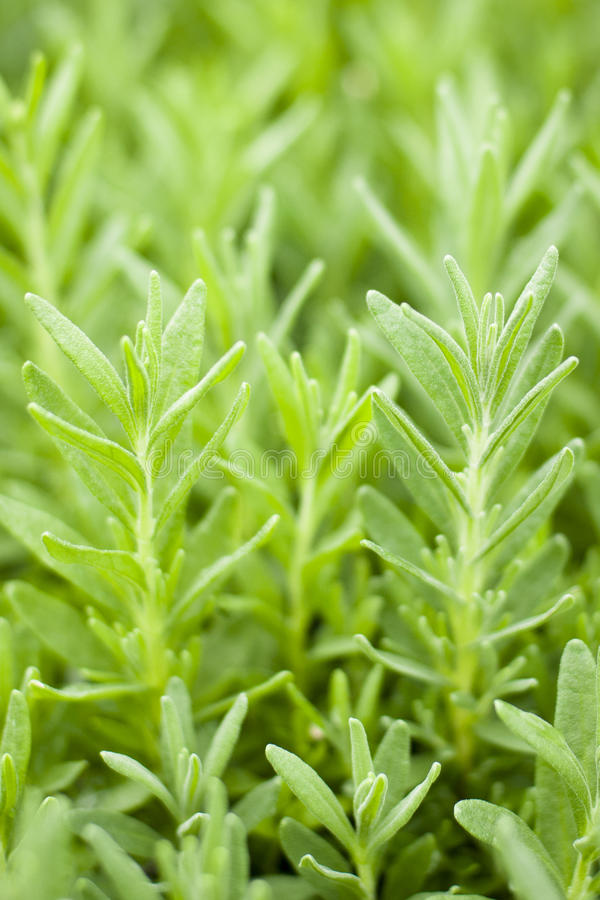 Rosemary Plant photographie stock