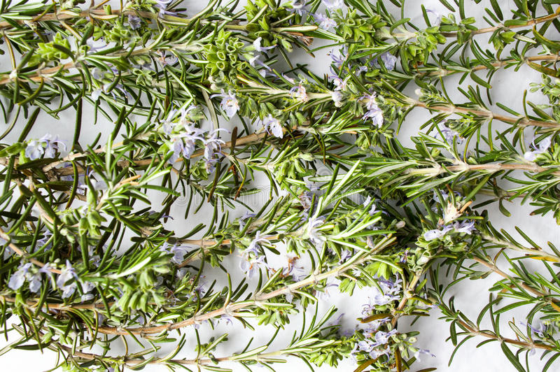 Rosemary plant in blossom on white stock photos