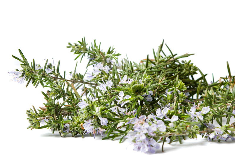 Rosemary plant in blossom on white royalty free stock photo
