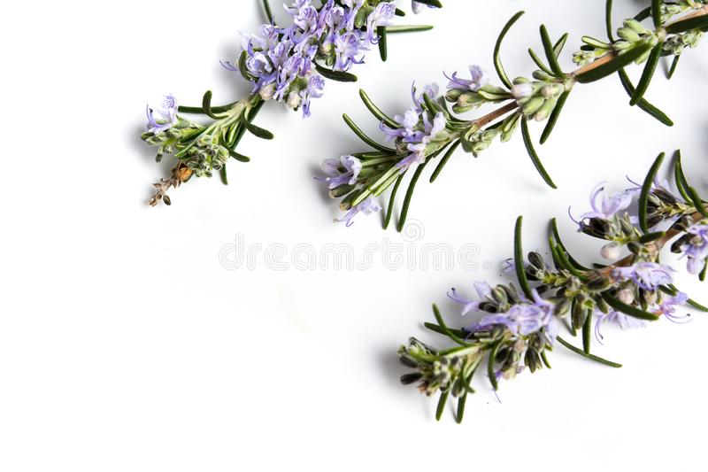 Rosemary plant brunches in blossom on white stock image