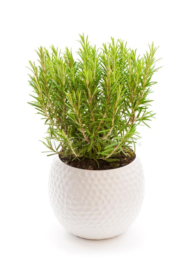rosemary plant in the flower pot isolated on white background stock photography