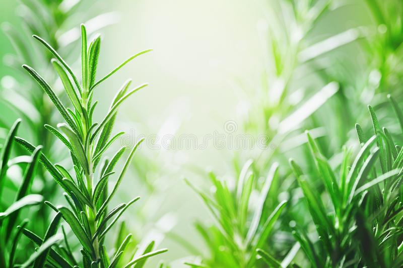 Rosemary plant in the garden. Culinary aromatic herb stock photo