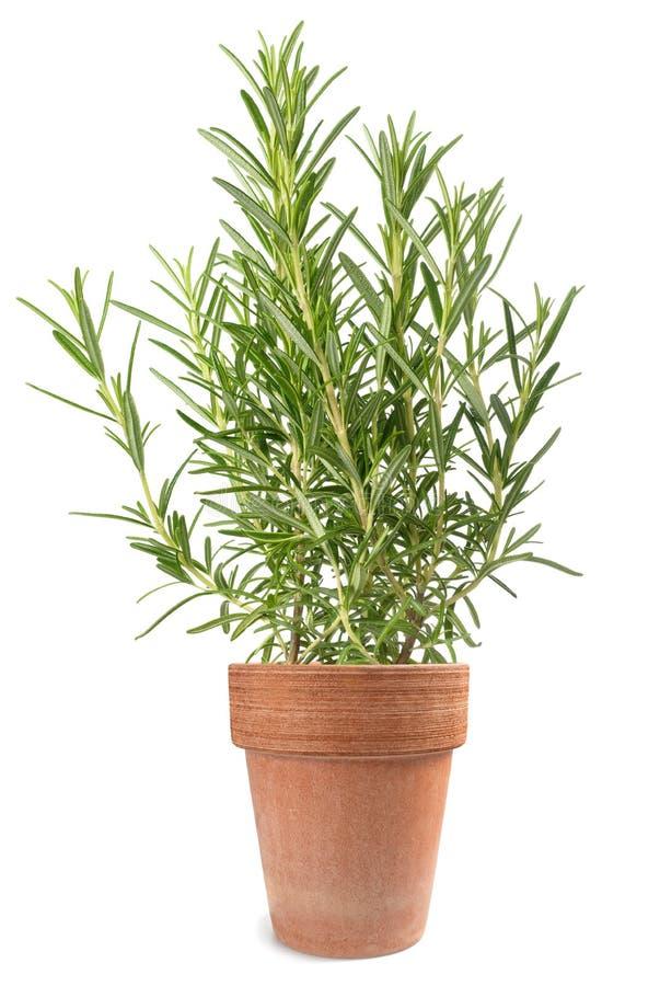 Rosemary in vase. Rosemary plant in vase isolated on white background stock photos