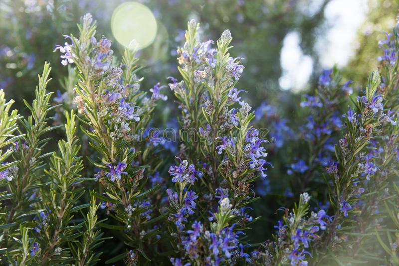 Rosemary plant in wild flower royalty free stock photo