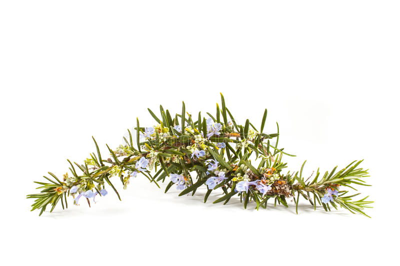 Download Rosemary(Rosmarinus Officinalis) Stock Photo - Image: 29246744