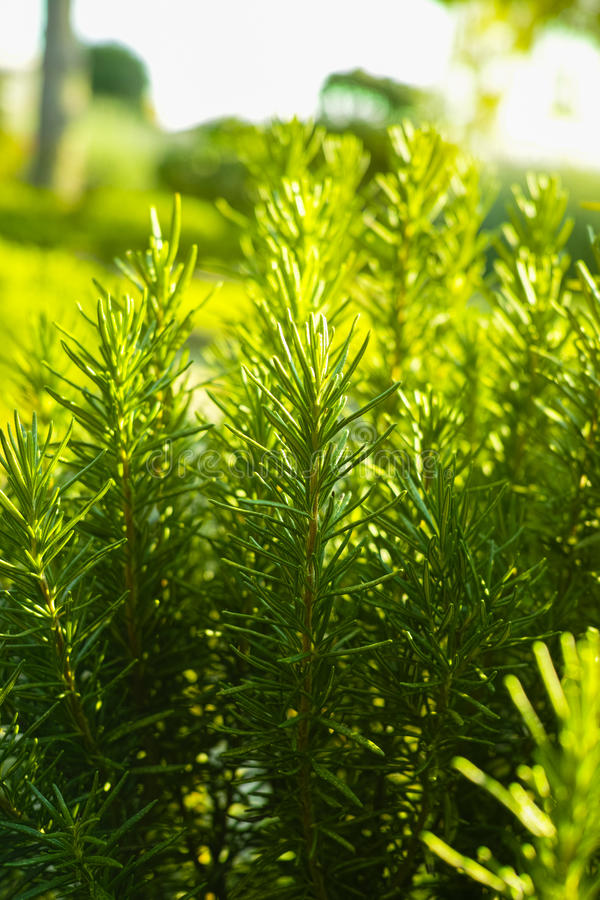 Rosemary (Rosmarinus officinalis) woody perennial herb plant. In the garden royalty free stock photo