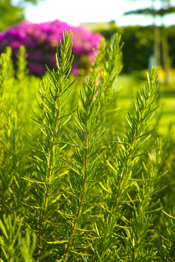 Rosemary (Rosmarinus officinalis) woody perennial herb plant. In the garden royalty free stock image