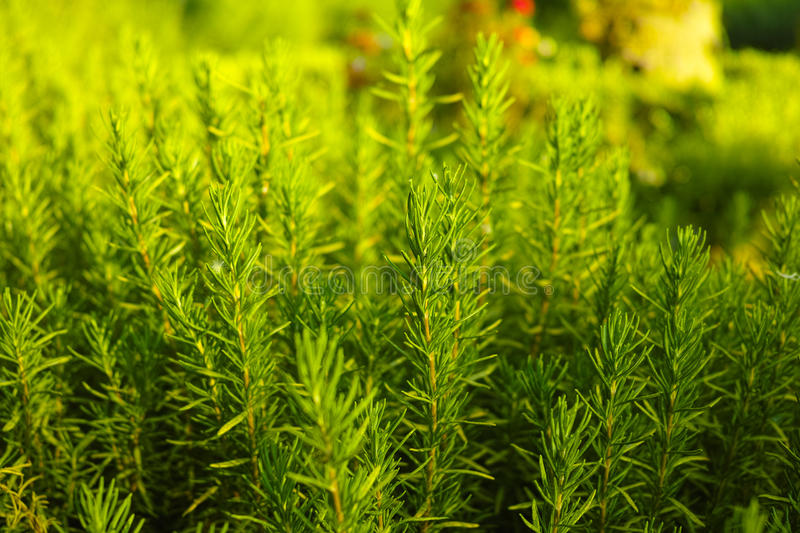 Rosemary (Rosmarinus officinalis) woody perennial herb plant. In the garden stock images