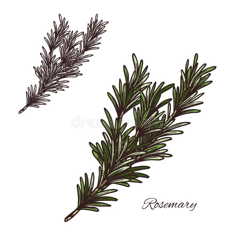 Rosemary seasoning vector sketch plant icon. Rosemary seasoning spice herb sketch icon. Vector isolated rosemary herb plant for culinary cuisine cooking or stock illustration