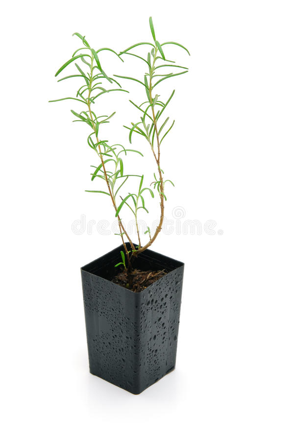 Download Rosemary seedling isolated stock image. Image of small - 14172991